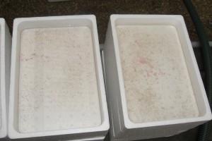 箱の中の黒っぽく、ゴミのようにみえるのが孵化直後のゴカイで、0.2,3ミリのサイズ